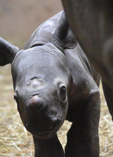 Редчайший черный носорог родился в Чикаго