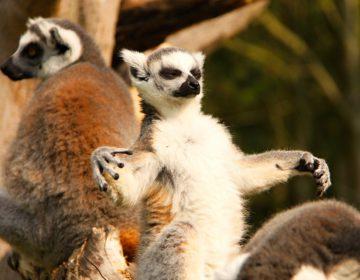 Йога с лемурами: новое слово в зоотерапии