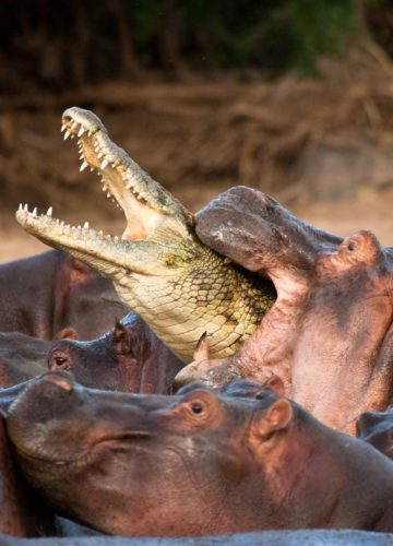 Юный бегемот играет с крокодилами